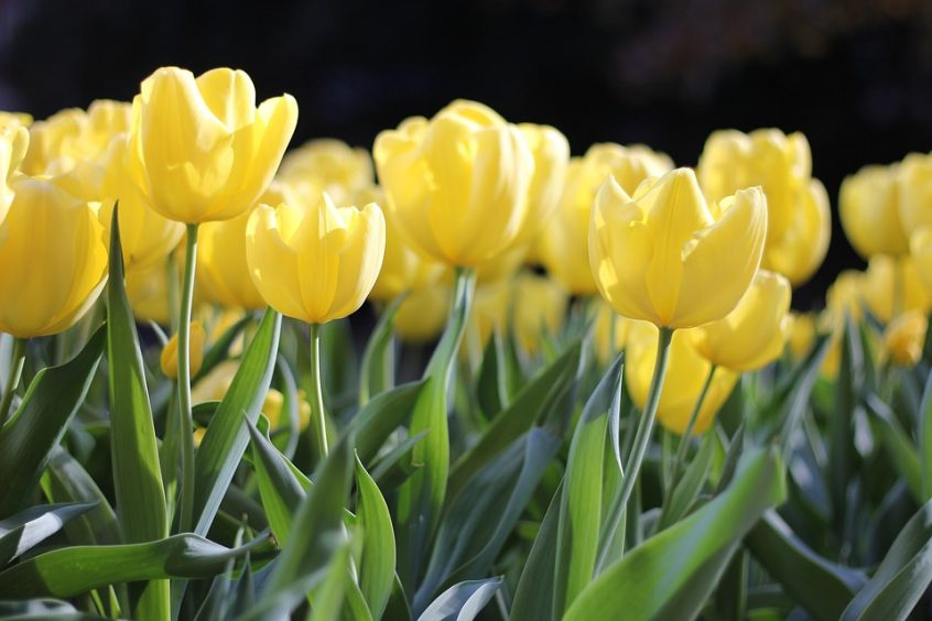 Flower Tulips Spring Green Yellow Floral Nature